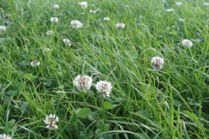 Grass seed and clover seed mixture