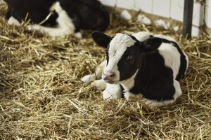Calf in stall - Agritech Nutrition and Forage Products