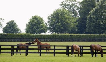 Horses grazing and playing in the paddocks at a bloodstock stud farm near Newmarket, Suffolk. Newmarket is generally considered the birthplace and global centre of thoroughbred horse racing.