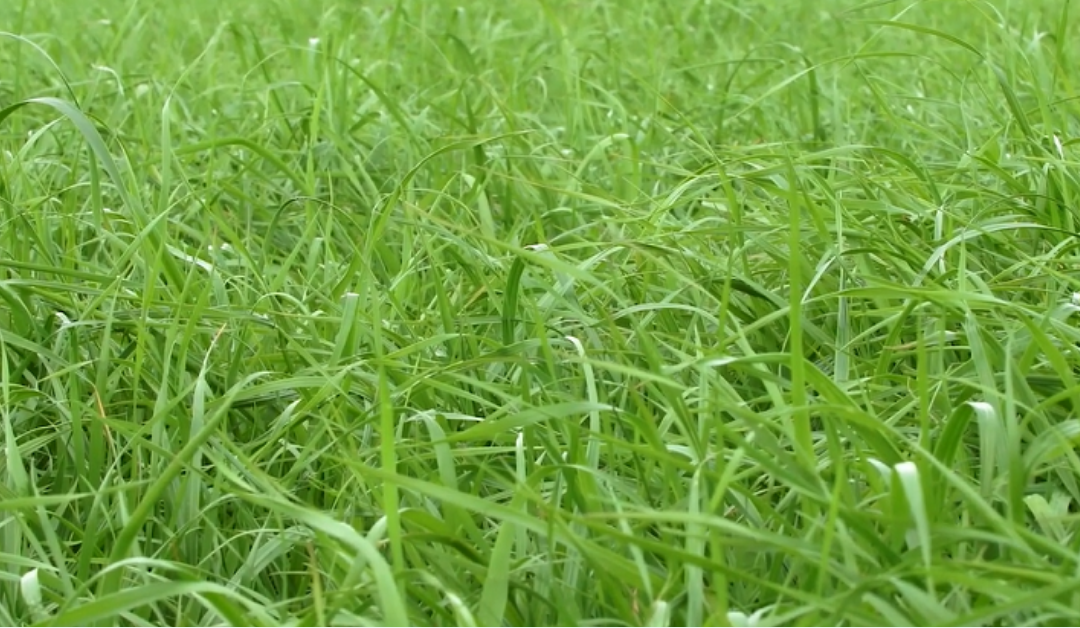Top grass varieties available from Tipperary Grass Seed Range