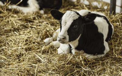 Successful calf rearing – Getting the basics right